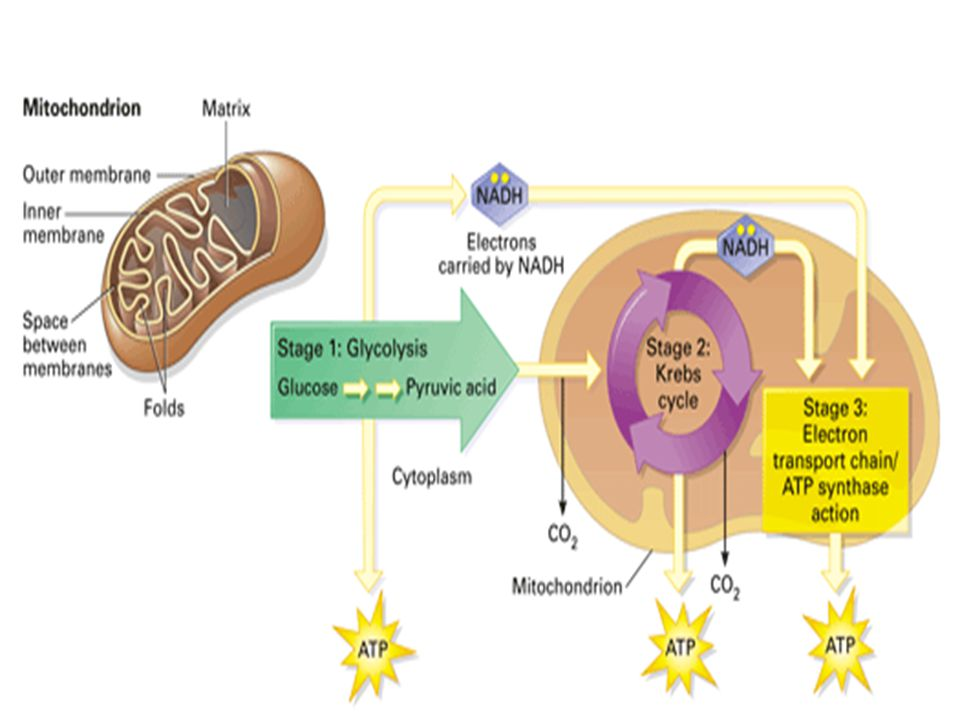 A Road Map for Cellular Respiration Cellular respiration is one type of chemical process that takes place in cells.