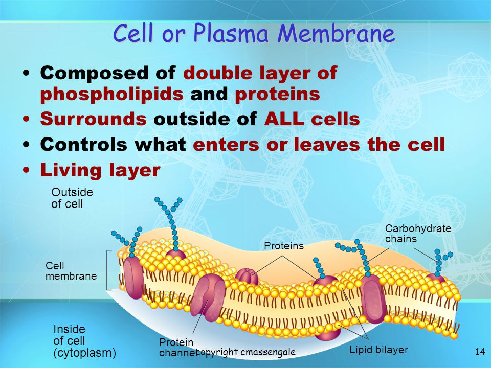 13 Lies immediately against the cell wall in plant cells Made of protein and phospholipids (fat) Selectively permeable, has holes so some stuff passes through Cell membrane Surrounding all Cells copyright cmassengale