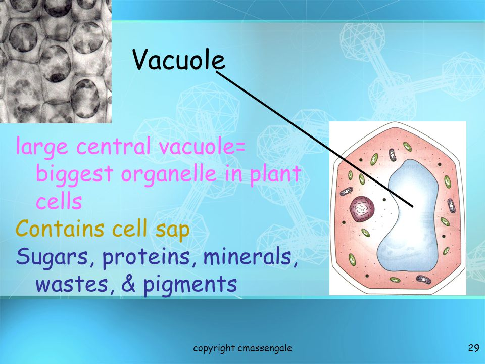 28 Vacuoles Fluid filled sacks for storage Small or absent in animal cells Plant cells have a large Central Vacuole copyright cmassengale