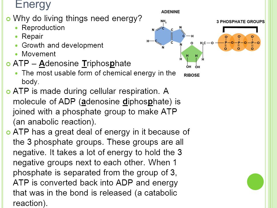 Energy Why do living things need energy? Reproduction Repair Growth and development Movement ATP – Adenosine Triphosphate The most usable form of chem