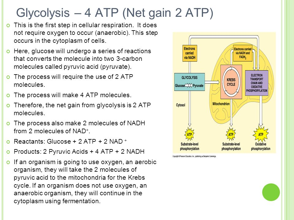 Glycolysis – 4 ATP (Net gain 2 ATP) This is the first step in cellular respiration. It does not require oxygen to occur (anaerobic). This step occurs