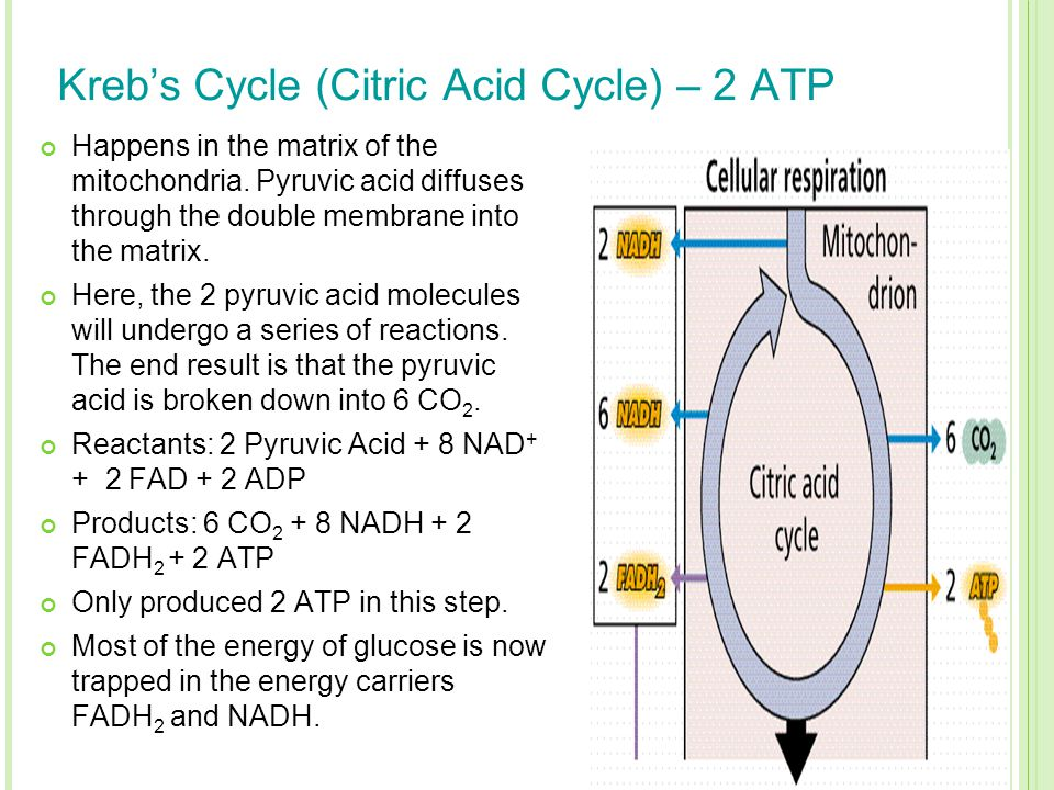 Kreb's Cycle (Citric Acid Cycle) – 2 ATP Happens in the matrix of the mitochondria. Pyruvic acid diffuses through the double membrane into the matrix.