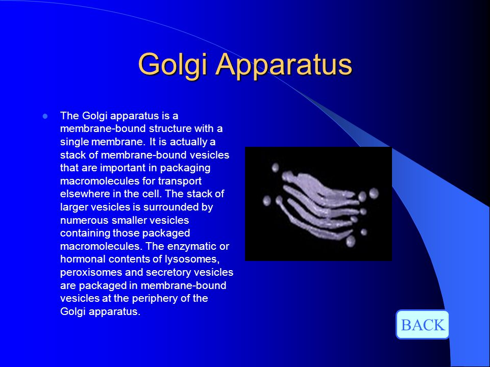 Golgi Apparatus The Golgi apparatus is a membrane-bound structure with a single membrane. It is actually a stack of membrane-bound vesicles that are i