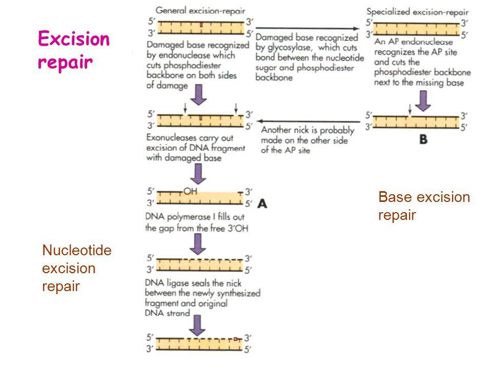 Excision repair Nucleotide excision repair Base excision repair