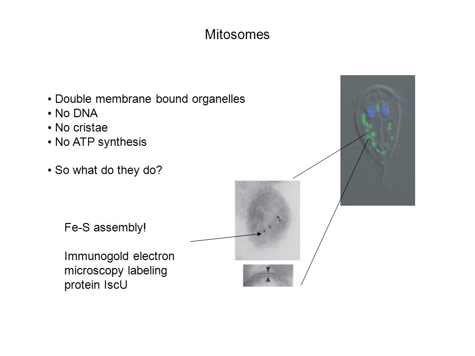Mitosomes Double membrane bound organelles No DNA No cristae No ATP synthesis So what do they do.