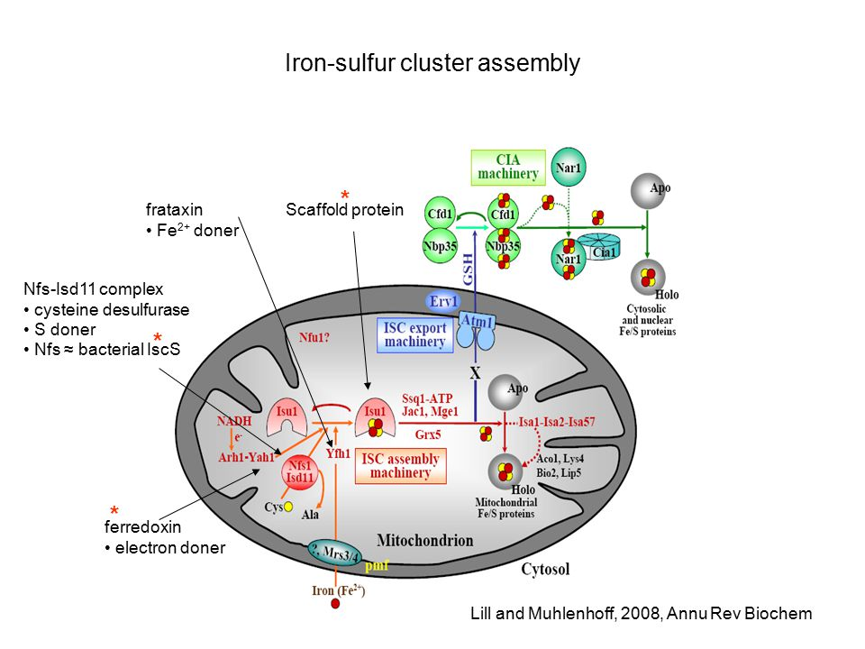 Iron-sulfur cluster assembly ferredoxin electron doner Nfs-Isd11 complex cysteine desulfurase S doner Nfs ≈ bacterial IscS frataxin Fe 2+ doner Scaffold protein * * Lill and Muhlenhoff, 2008, Annu Rev Biochem *