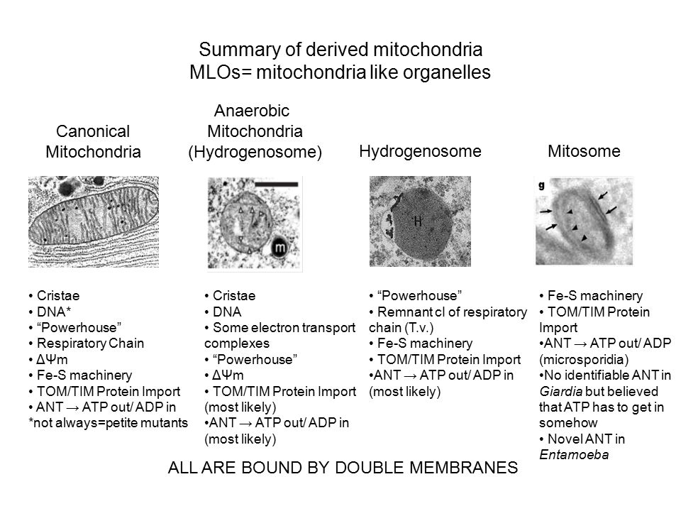 Summary of derived mitochondria MLOs= mitochondria like organelles Canonical Mitochondria Anaerobic Mitochondria (Hydrogenosome) HydrogenosomeMitosome Cristae DNA* Powerhouse Respiratory Chain ΔΨm Fe-S machinery TOM/TIM Protein Import ANT → ATP out/ ADP in *not always=petite mutants Cristae DNA Some electron transport complexes Powerhouse ΔΨm TOM/TIM Protein Import (most likely) ANT → ATP out/ ADP in (most likely) Powerhouse Remnant cI of respiratory chain (T.v.) Fe-S machinery TOM/TIM Protein Import ANT → ATP out/ ADP in (most likely) Fe-S machinery TOM/TIM Protein Import ANT → ATP out/ ADP (microsporidia) No identifiable ANT in Giardia but believed that ATP has to get in somehow Novel ANT in Entamoeba ALL ARE BOUND BY DOUBLE MEMBRANES