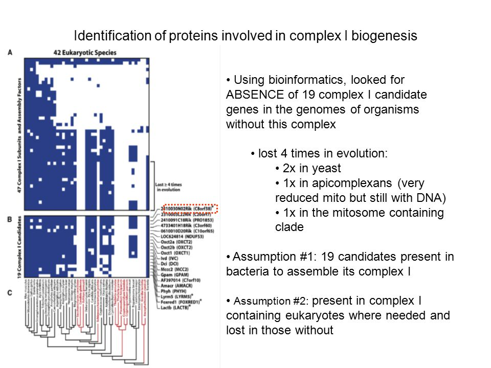 Identification of proteins involved in complex I biogenesis Using bioinformatics, looked for ABSENCE of 19 complex I candidate genes in the genomes of organisms without this complex lost 4 times in evolution: 2x in yeast 1x in apicomplexans (very reduced mito but still with DNA) 1x in the mitosome containing clade Assumption #1: 19 candidates present in bacteria to assemble its complex I Assumption #2: present in complex I containing eukaryotes where needed and lost in those without