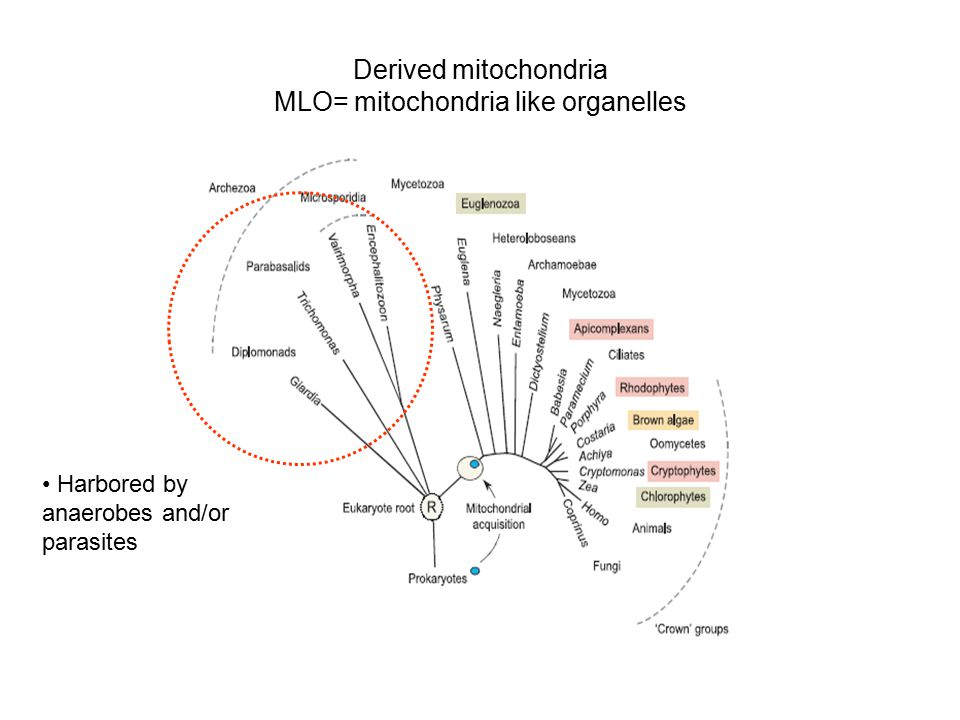 Derived mitochondria MLO= mitochondria like organelles Harbored by anaerobes and/or parasites
