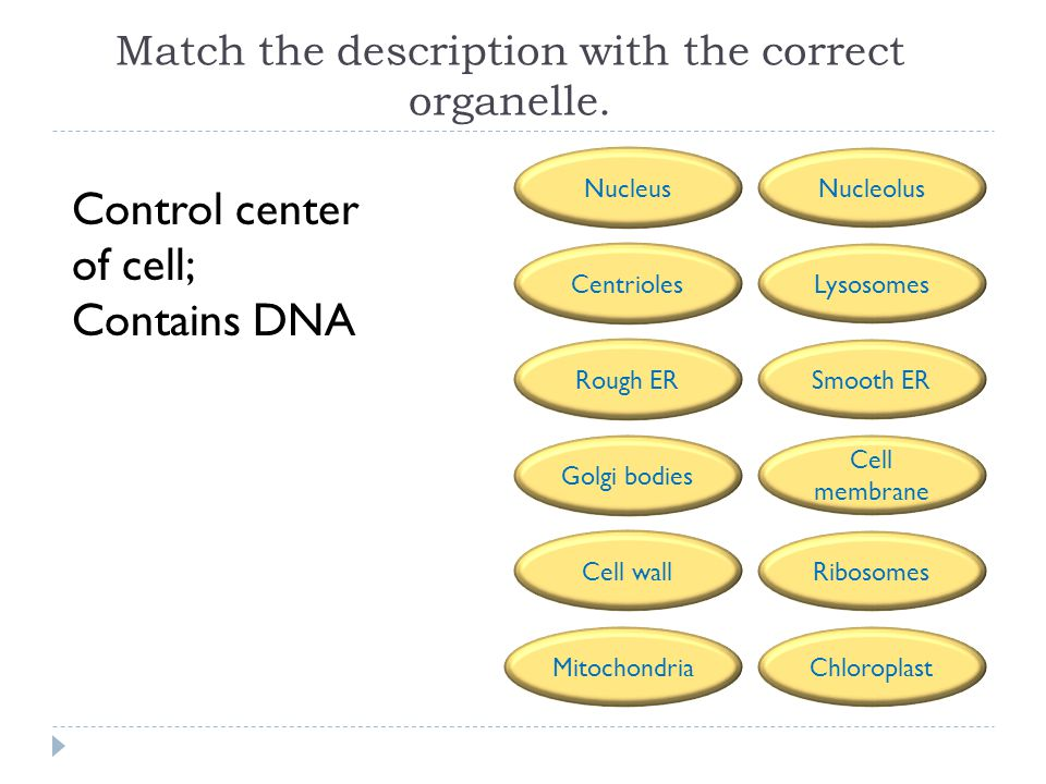 Match the description with the correct organelle.