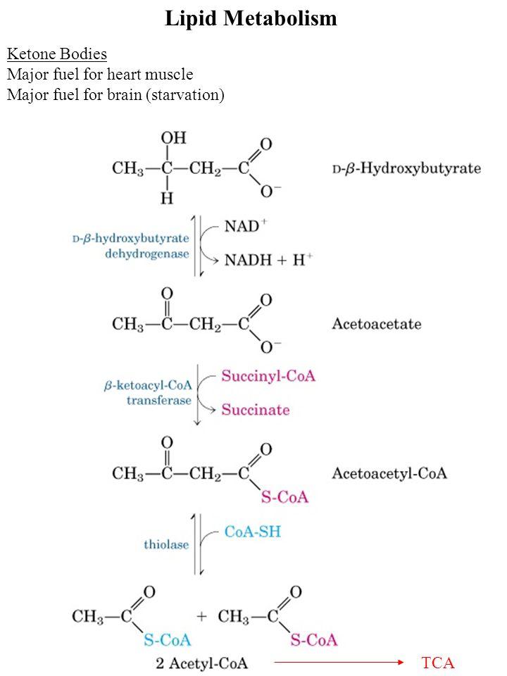 Lipid Metabolism Ketone Bodies Major fuel for heart muscle Major fuel for brain (starvation) TCA
