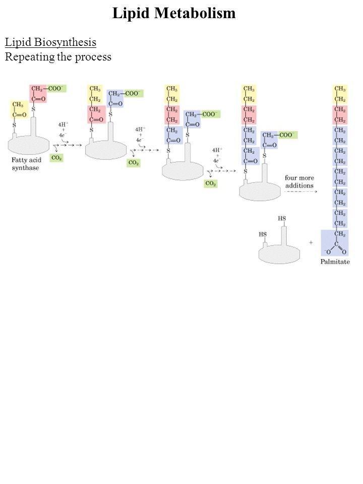 Lipid Metabolism Lipid Biosynthesis Repeating the process