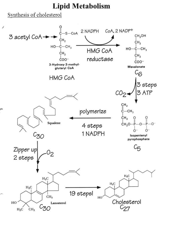 Lipid Metabolism Synthesis of cholesterol