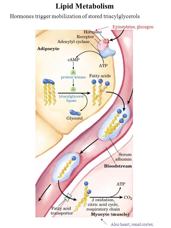 Lipid Metabolism Hormones trigger mobilization of stored triacylglycerols Also heart, renal cortex Epinephrine, glucagon