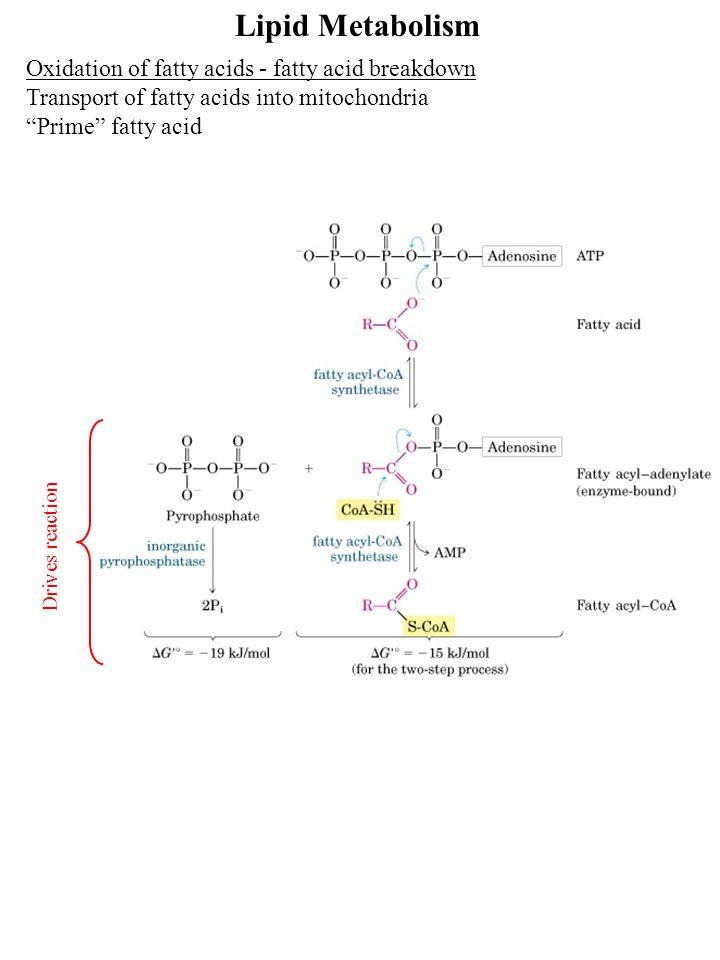 Lipid Metabolism Oxidation of fatty acids - fatty acid breakdown Transport of fatty acids into mitochondria Prime fatty acid Drives reaction
