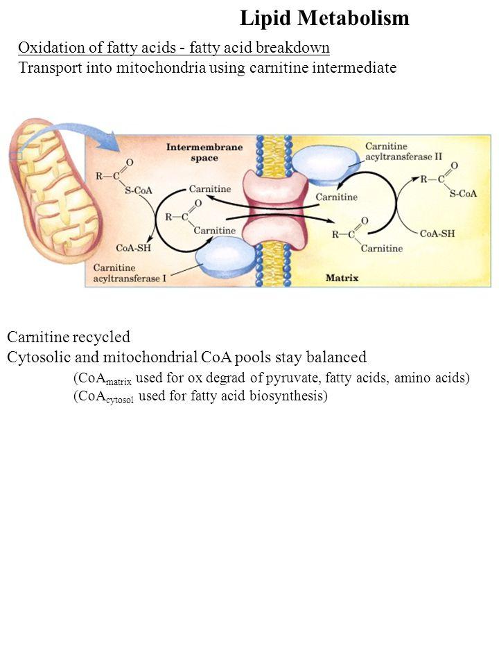 Lipid Metabolism Oxidation of fatty acids - fatty acid breakdown Transport into mitochondria using carnitine intermediate Carnitine recycled Cytosolic