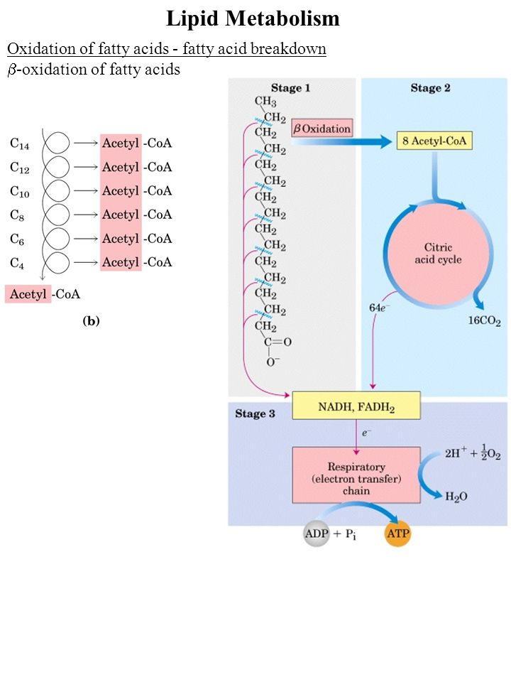 Lipid Metabolism Oxidation of fatty acids - fatty acid breakdown  -oxidation of fatty acids (odd # carbons)  -oxidation gives a 3 carbon remnant Need ATP to put CO 2 on biotin (Citric acid cycle intermediate)