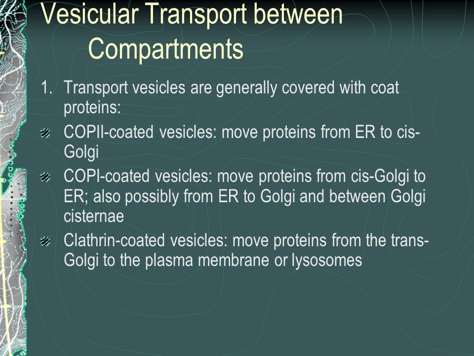 Vesicular Transport between Compartments 1.Transport vesicles are generally covered with coat proteins: COPII-coated vesicles: move proteins from ER to cis- Golgi COPI-coated vesicles: move proteins from cis-Golgi to ER; also possibly from ER to Golgi and between Golgi cisternae Clathrin-coated vesicles: move proteins from the trans- Golgi to the plasma membrane or lysosomes