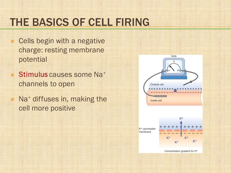 THE BASICS OF CELL FIRING  Cells begin with a negative charge: resting membrane potential  Stimulus causes some Na + channels to open  Na + diffuse
