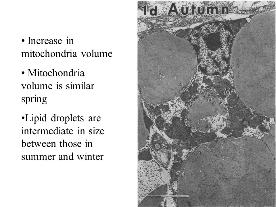 Increase in mitochondria volume Mitochondria volume is similar spring Lipid droplets are intermediate in size between those in summer and winter