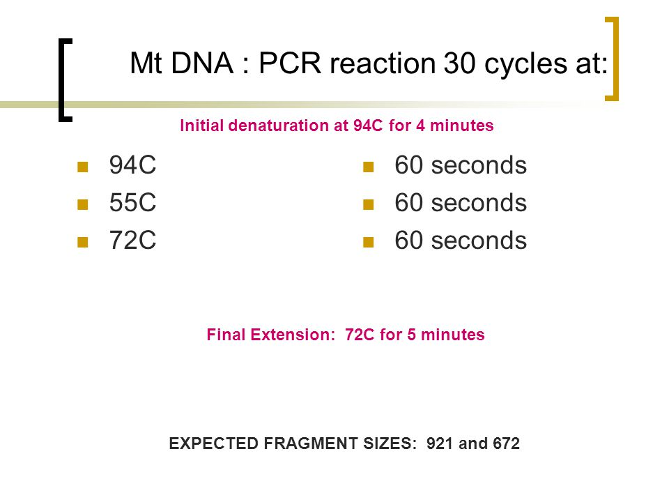 Mt DNA : PCR reaction 30 cycles at: 94C 55C 72C 60 seconds Initial denaturation at 94C for 4 minutes Final Extension: 72C for 5 minutes EXPECTED FRAGMENT SIZES: 921 and 672