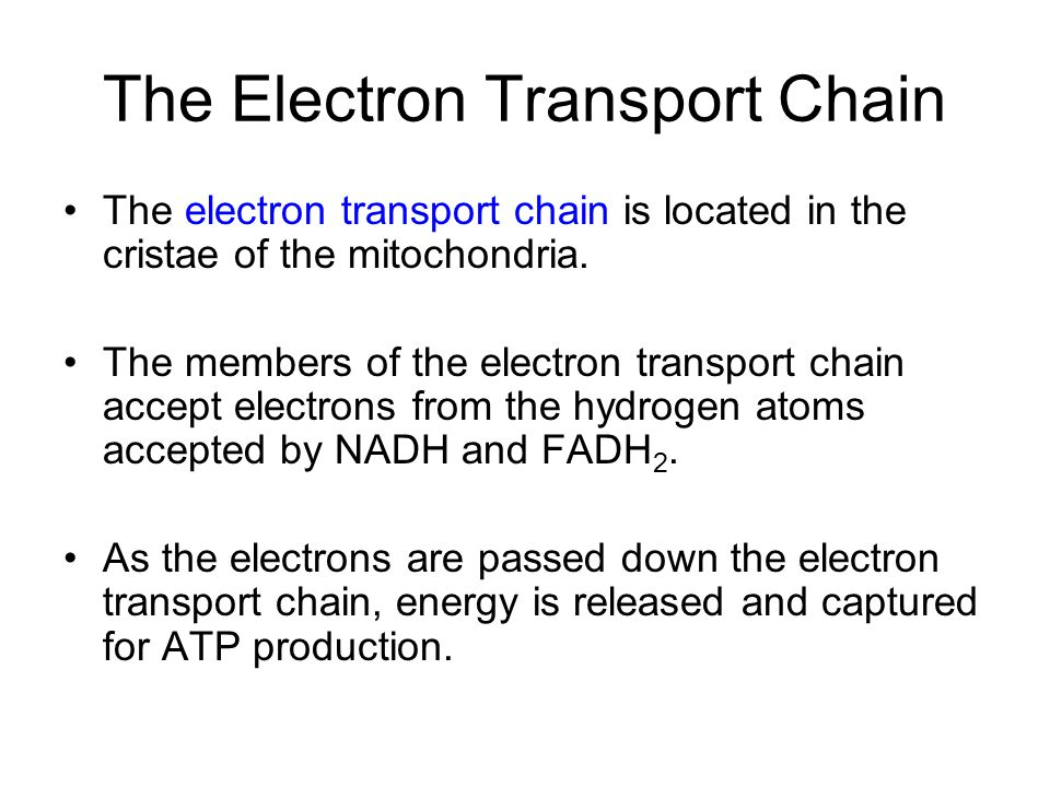 The Electron Transport Chain The electron transport chain is located in the cristae of the mitochondria.