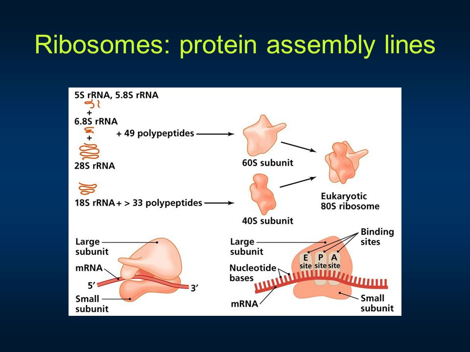 Ribosomes: protein assembly lines