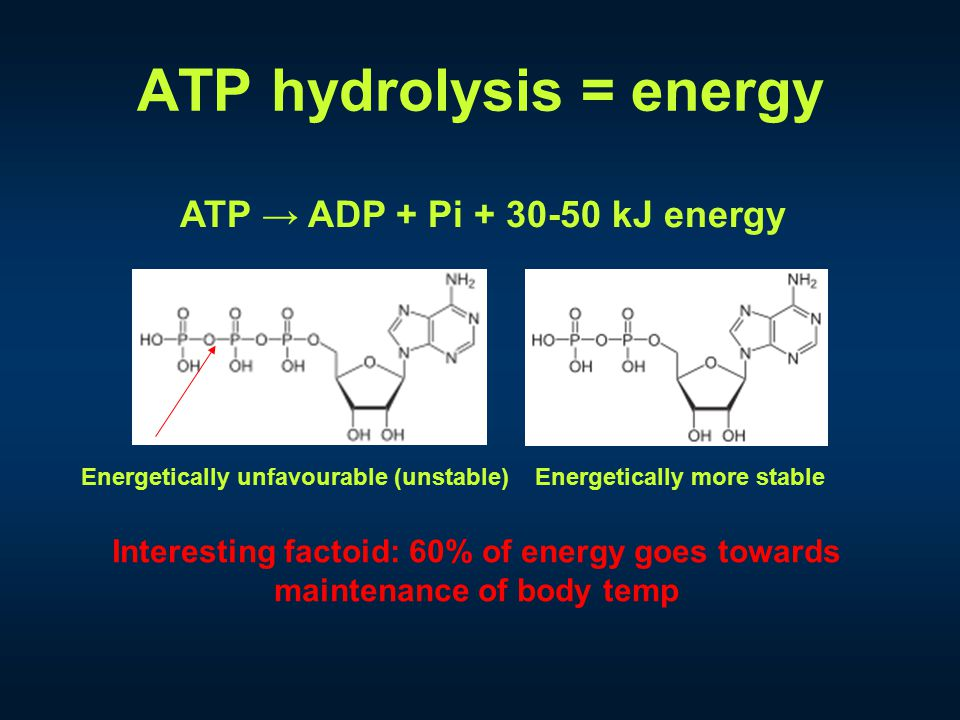 ATP hydrolysis = energy ATP → ADP + Pi + 30-50 kJ energy Energetically unfavourable (unstable)Energetically more stable Interesting factoid: 60% of energy goes towards maintenance of body temp