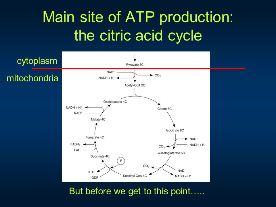 Main site of ATP production: the citric acid cycle cytoplasm mitochondria But before we get to this point…..