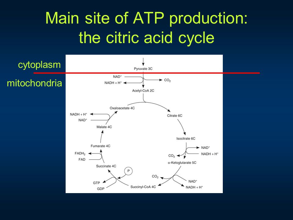 Main site of ATP production: the citric acid cycle cytoplasm mitochondria