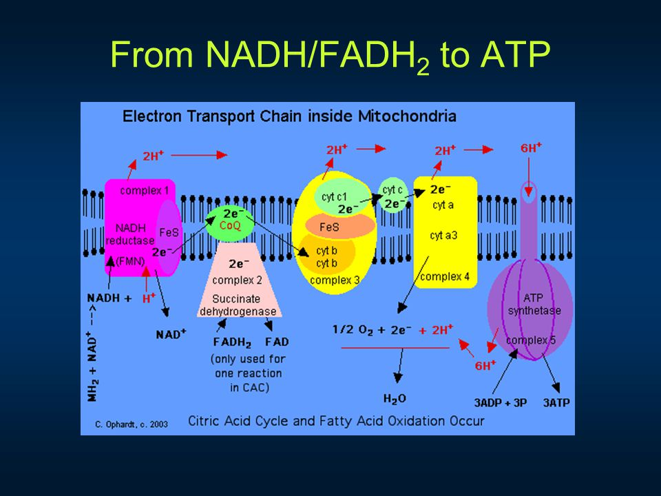 From NADH/FADH 2 to ATP