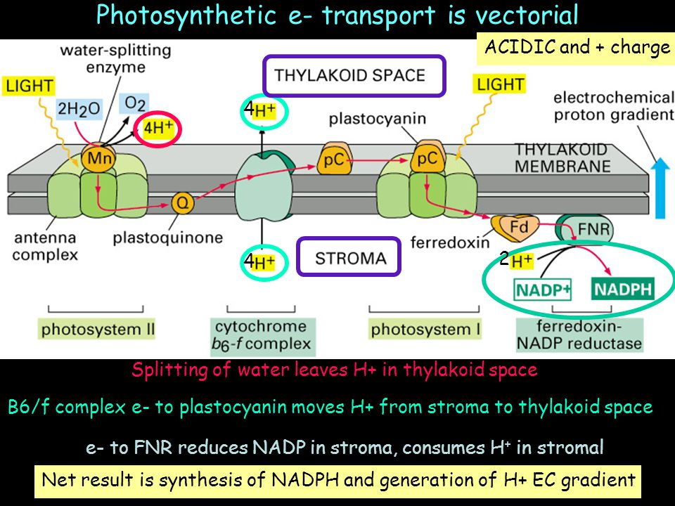 Photosynthetic e- transport is vectorial Splitting of water leaves H+ in thylakoid space B6/f complex e- to plastocyanin moves H+ from stroma to thyla