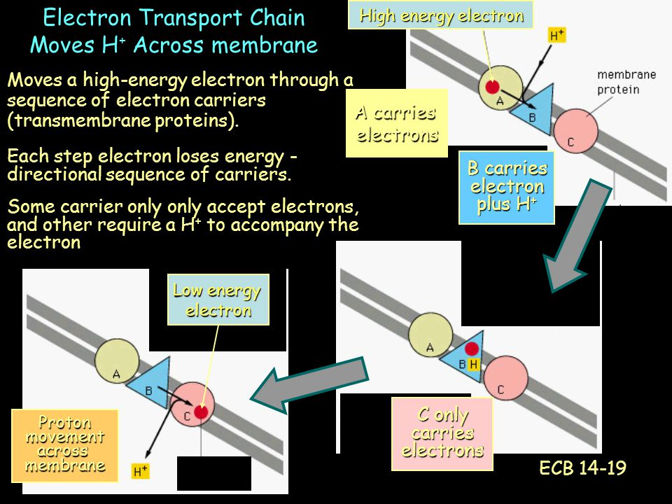 Moves a high-energy electron through a sequence of electron carriers (transmembrane proteins).