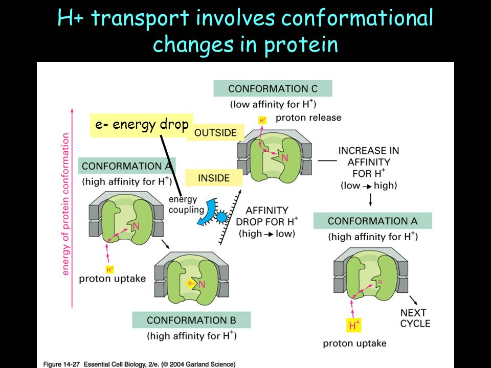 H+ transport involves conformational changes in protein e- energy drop