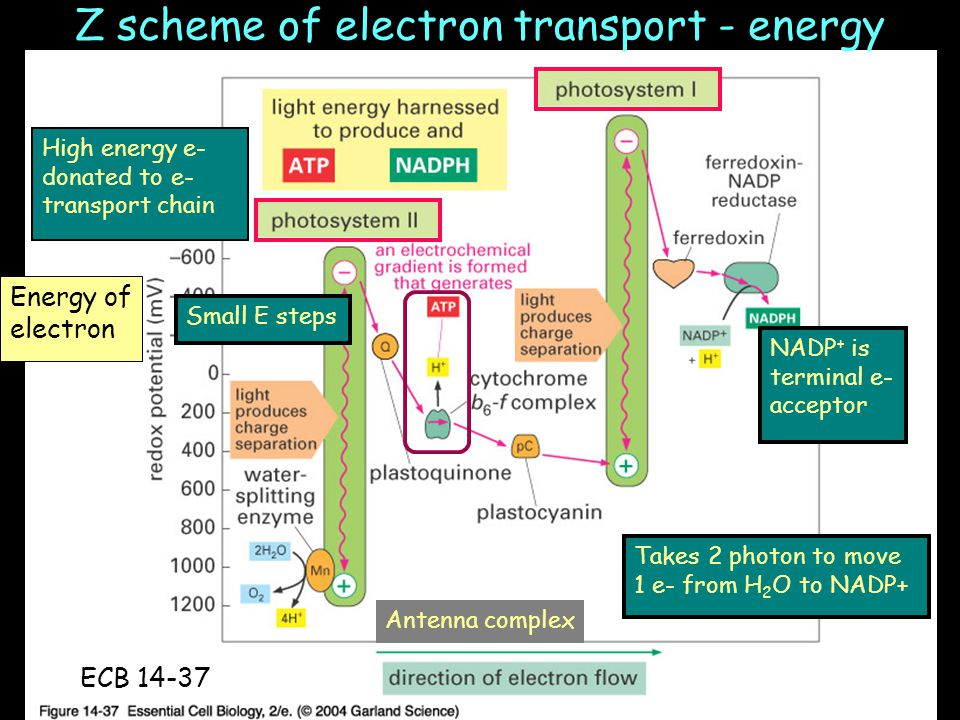 Z scheme of electron transport - energy Antenna complex High energy e- donated to e- transport chain NADP + is terminal e- acceptor Takes 2 photon to move 1 e- from H 2 O to NADP+ Small E steps ECB 14-37 Energy of electron