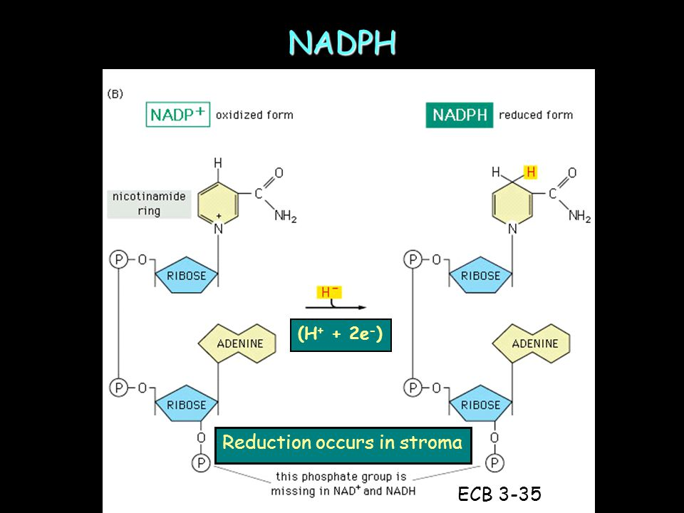 NADPH (H + + 2e - ) ECB 3-35 Reduction occurs in stroma