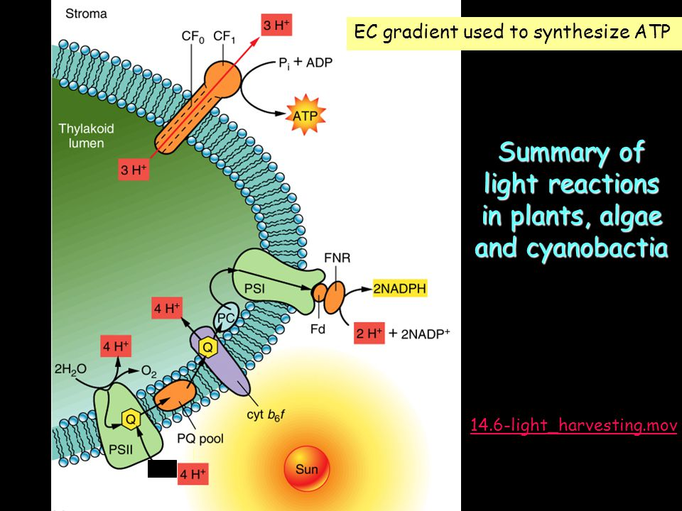 Summary of light reactions in plants, algae and cyanobactia EC gradient used to synthesize ATP 14.6-light_harvesting.mov