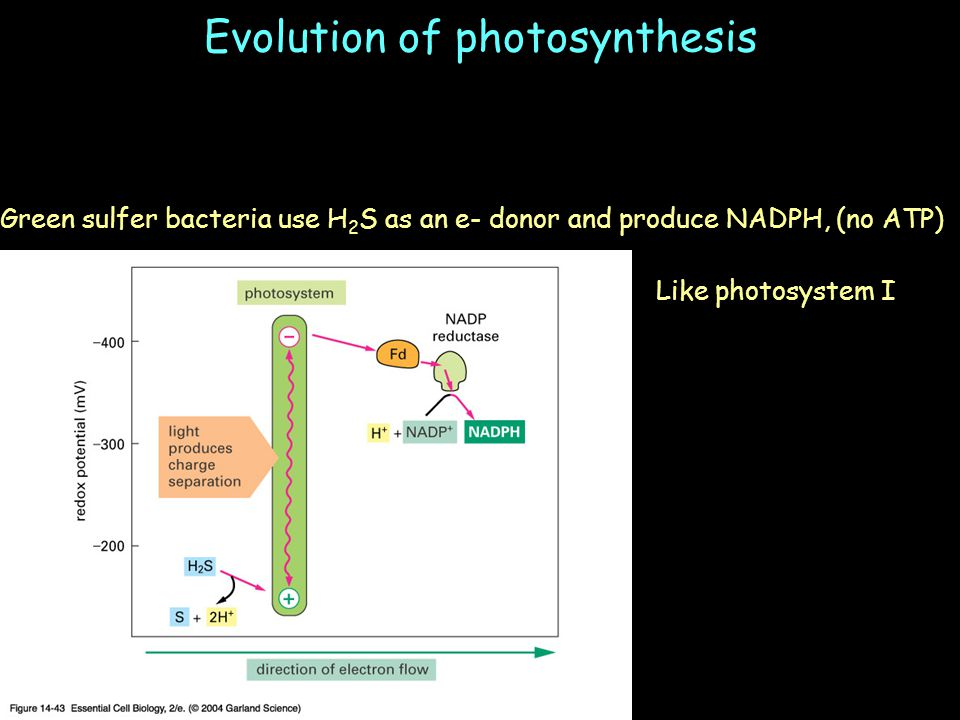 Evolution of photosynthesis Green sulfer bacteria use H 2 S as an e- donor and produce NADPH, (no ATP) Like photosystem I