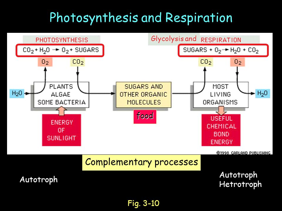 Photosynthesis and Respirationfood Complementary processes Fig.