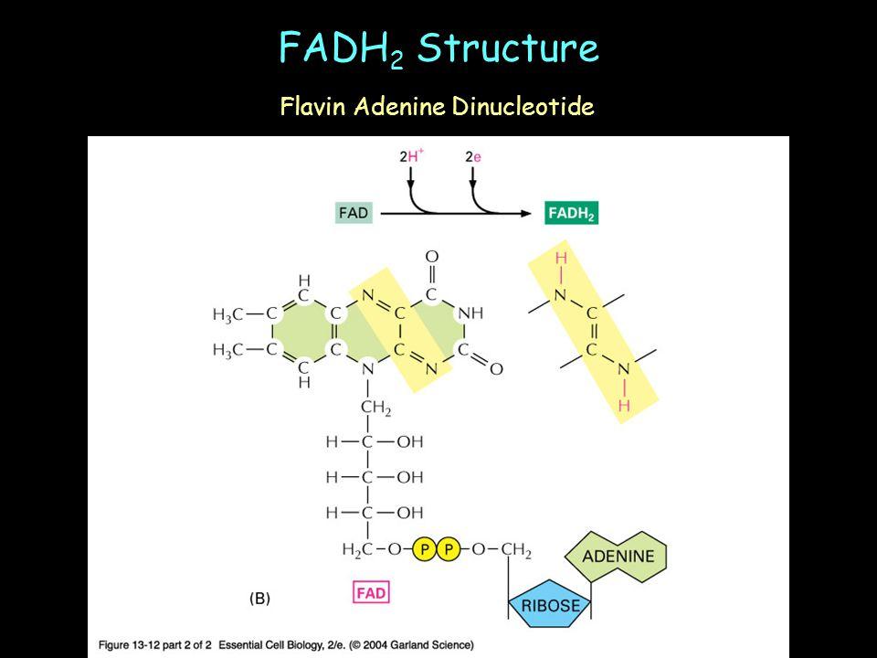 FADH 2 Structure Flavin Adenine Dinucleotide