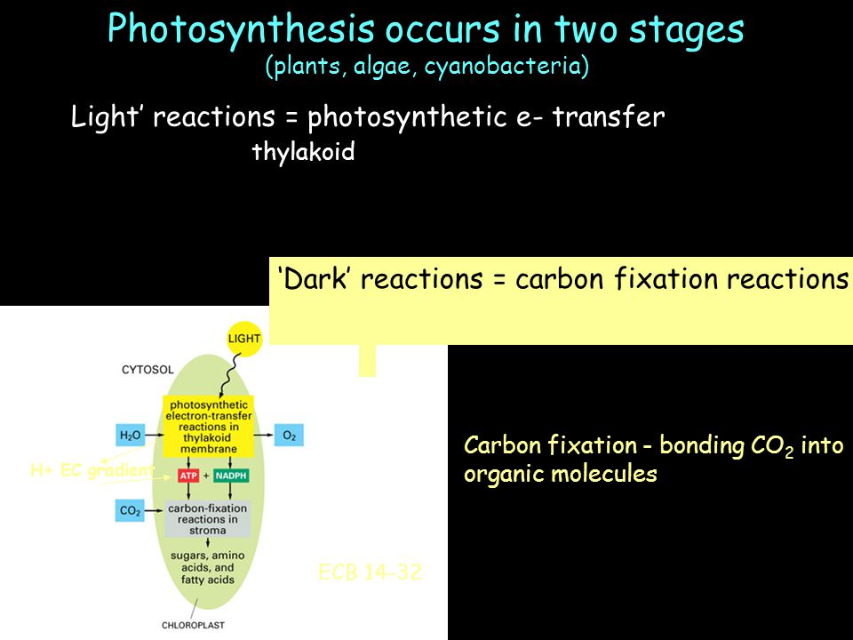 Photosynthesis occurs in two stages (plants, algae, cyanobacteria) 'Light' reactions = photosynthetic e- transfer Occur in thylakoid membrane 'Dark' reactions = carbon fixation reactions Carbon fixation - bonding CO 2 into organic molecules ECB 14-32 H+ EC gradient