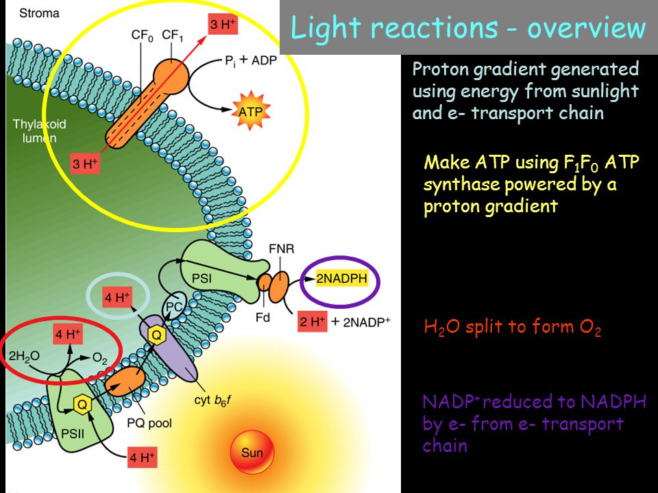 Make ATP using F 1 F 0 ATP synthase powered by a proton gradient Light reactions - overview H 2 O split to form O 2 NADP + reduced to NADPH by e- from e- transport chain Proton gradient generated using energy from sunlight and e- transport chain