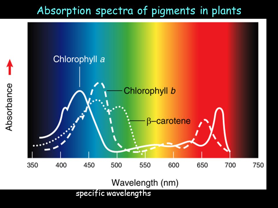 Chlorophyll absorbs specific wavelengths of light; not all light is effective Absorption spectra of pigments in plants