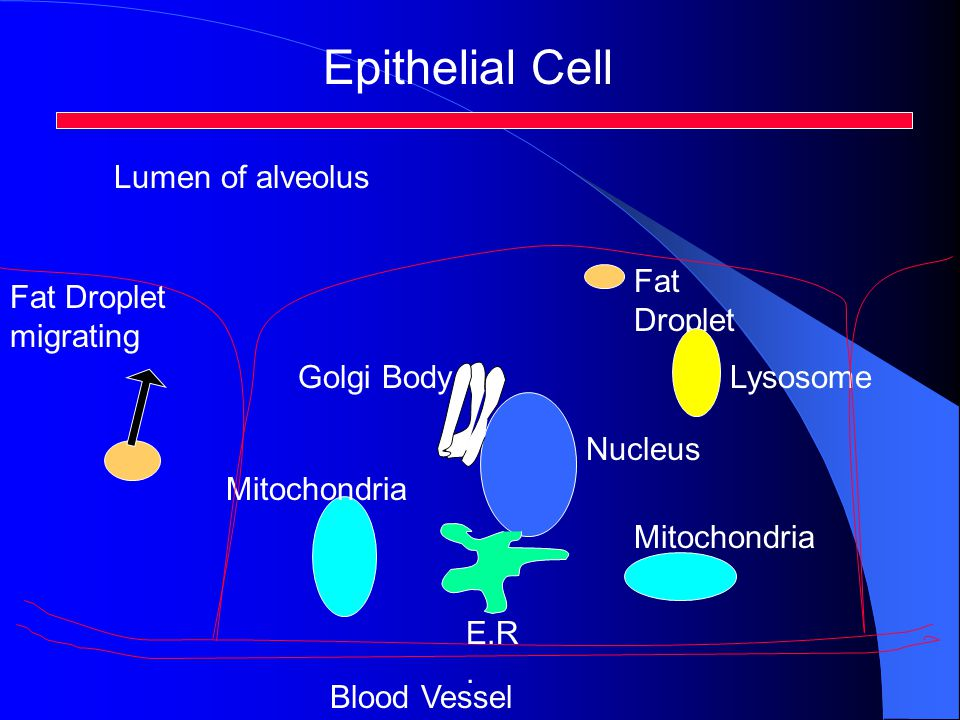 Epithelial Cell Mitochondria E.R. Blood Vessel Nucleus Fat Droplet Fat Droplet migrating Golgi BodyLysosome Lumen of alveolus