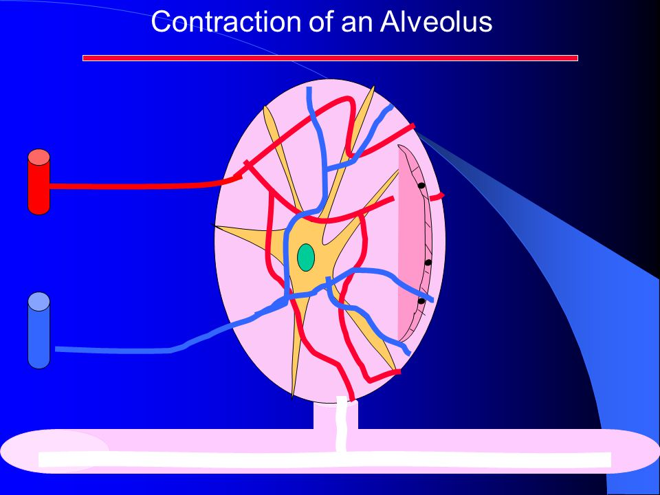 Contraction of an Alveolus