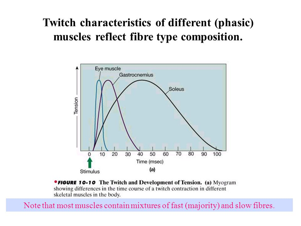 Twitch characteristics of different (phasic) muscles reflect fibre type composition. Note that most muscles contain mixtures of fast (majority) and sl