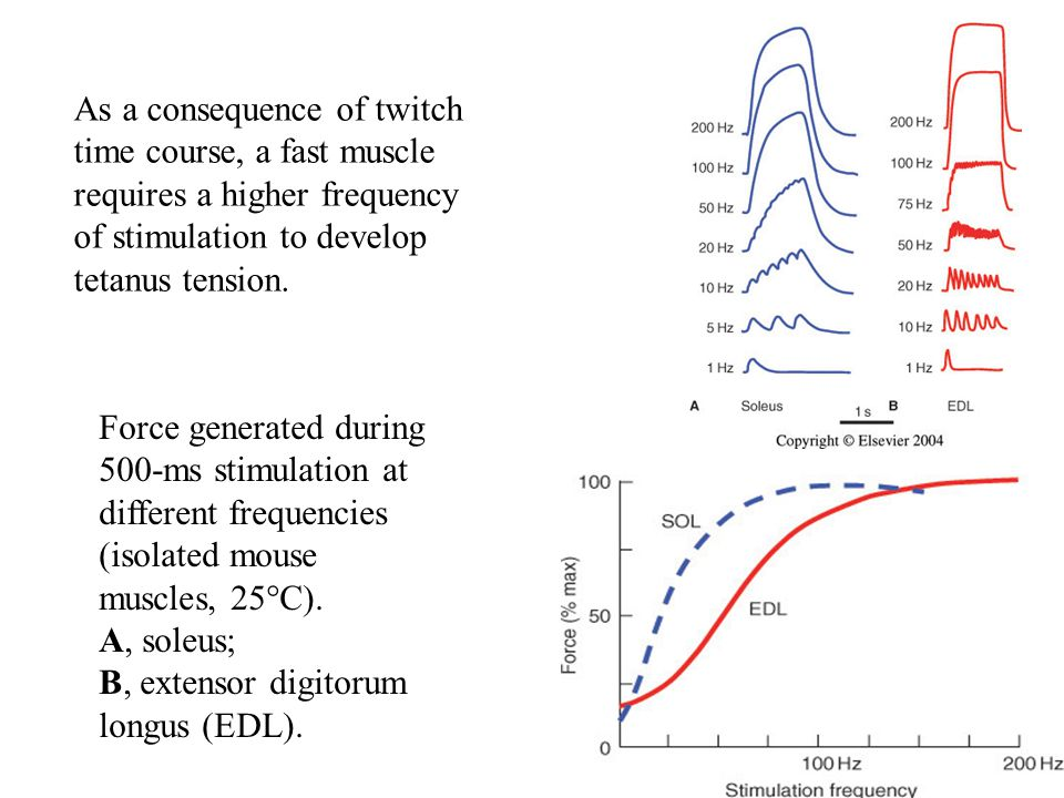 Force generated during 500-ms stimulation at different frequencies (isolated mouse muscles, 25°C). A, soleus; B, extensor digitorum longus (EDL). As a