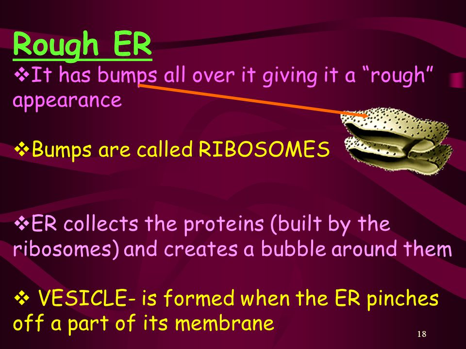 18 Rough ER  It has bumps all over it giving it a rough appearance  Bumps are called RIBOSOMES  ER collects the proteins (built by the ribosomes) and creates a bubble around them  VESICLE- is formed when the ER pinches off a part of its membrane