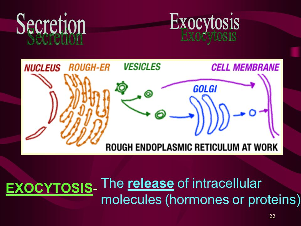 22 The release of intracellular molecules (hormones or proteins) EXOCYTOSIS-
