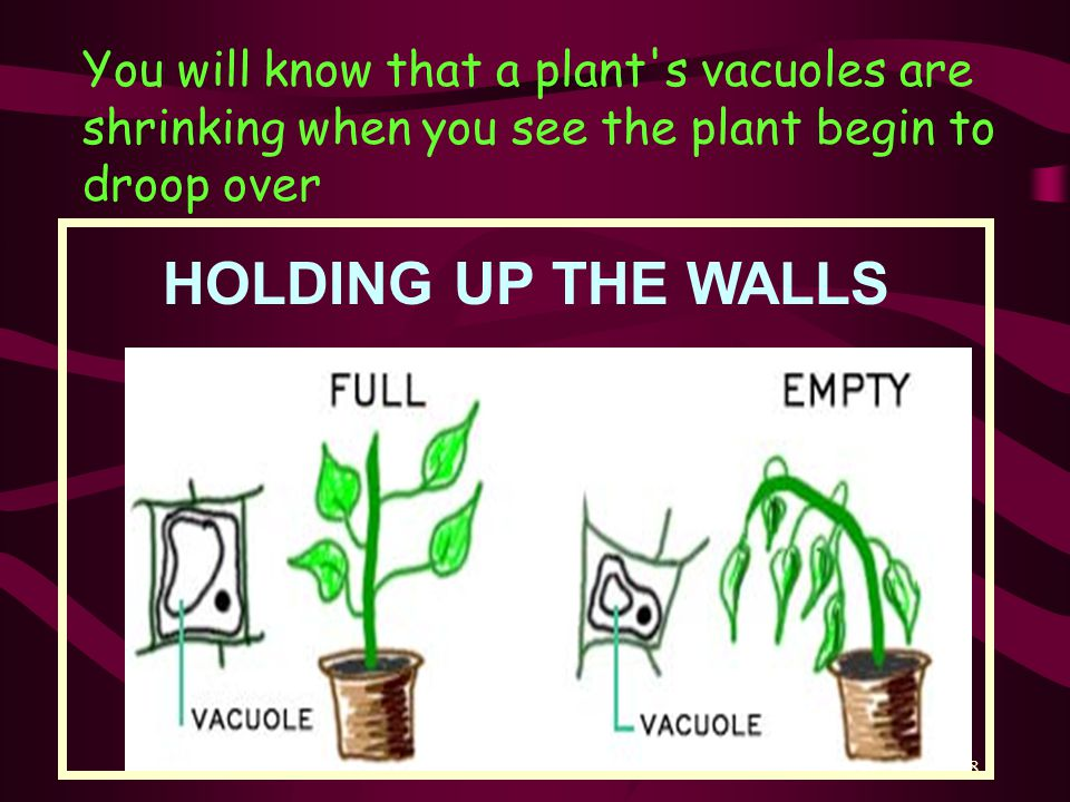 38 You will know that a plant s vacuoles are shrinking when you see the plant begin to droop over HOLDING UP THE WALLS